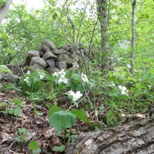 Forest bathing trilians
